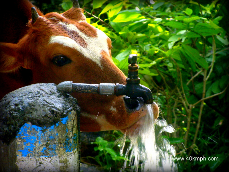 Cow Drinking Water from a Tap