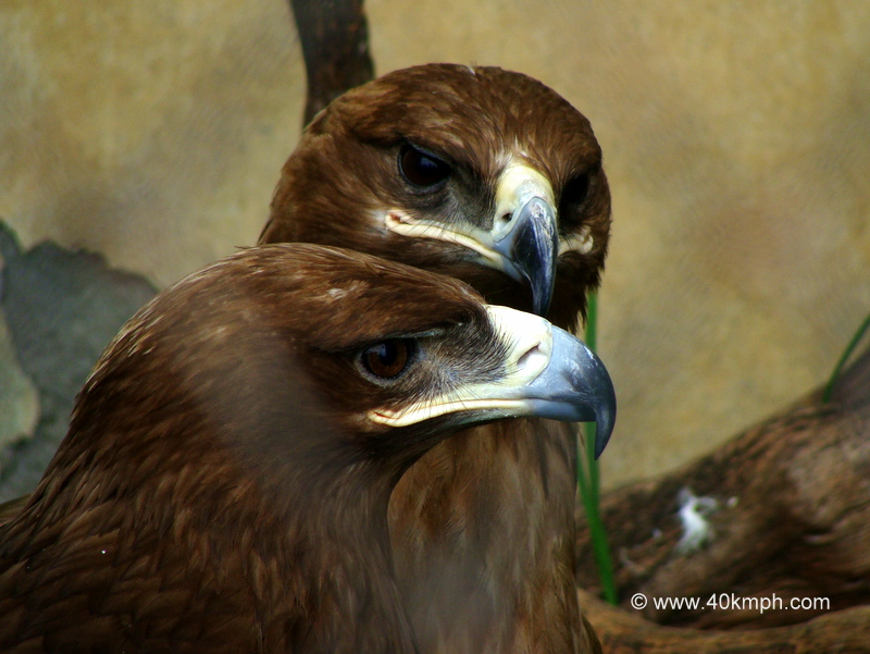 Pair of Steppe Eagles