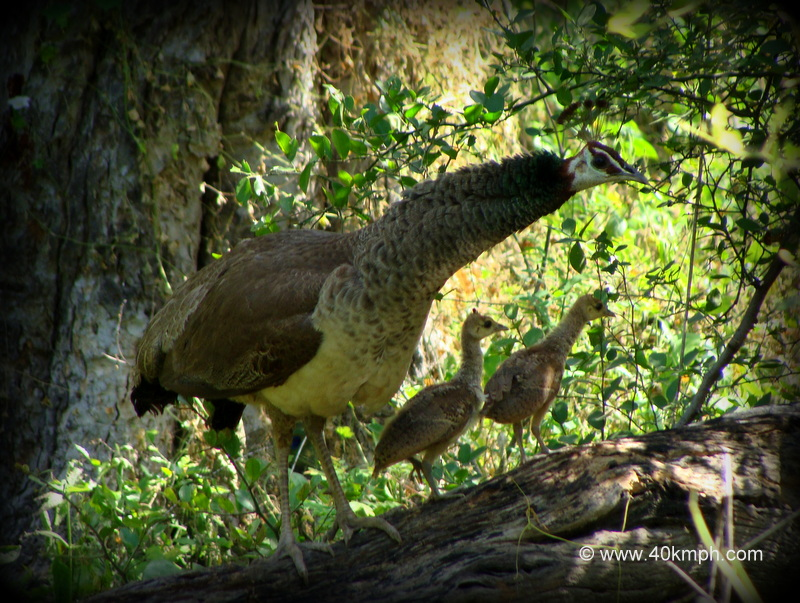 Peahen with Chicks