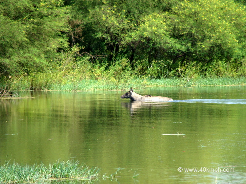 Blue Bull in a Pond