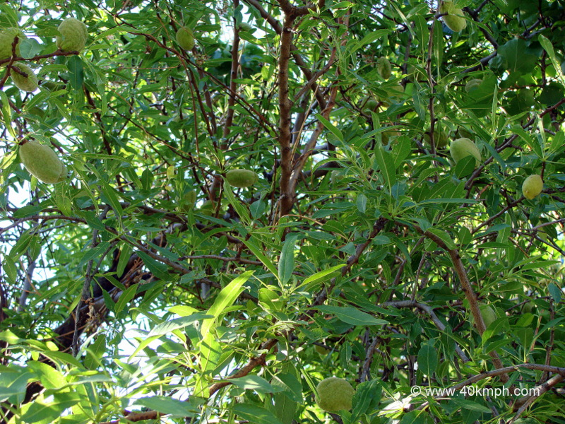 Almond Tree with Fruits