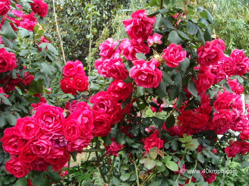 Red Roses Plants