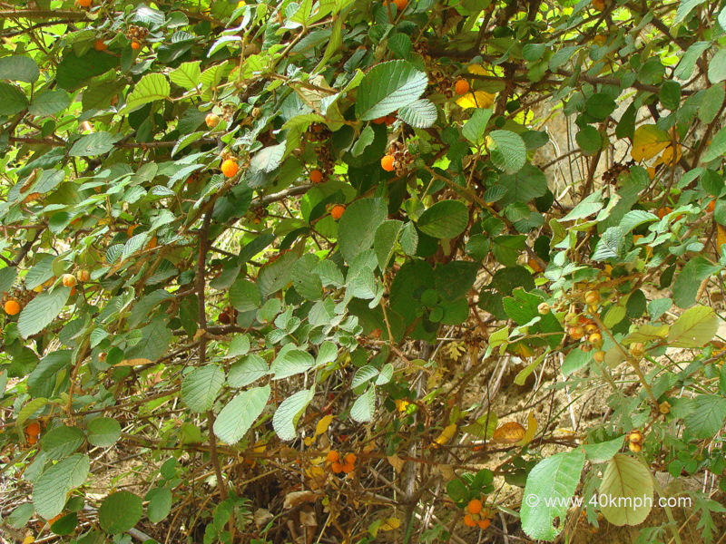 Ainselu Common Name for Hinsar Wild Berries