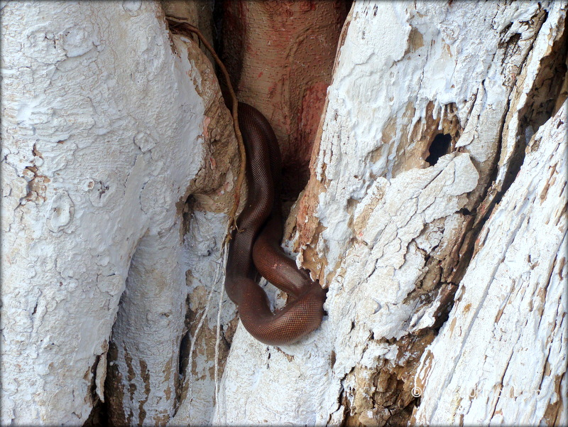 Brown Sand Boa Snake also Known as Do-muha