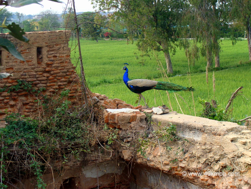 Peacock On The Wall