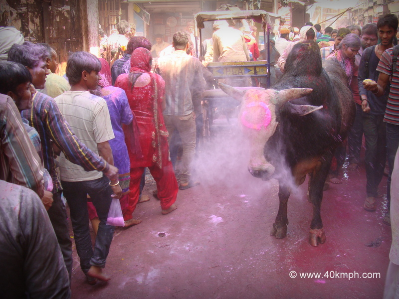 A Bull Smeared with Holi Colors