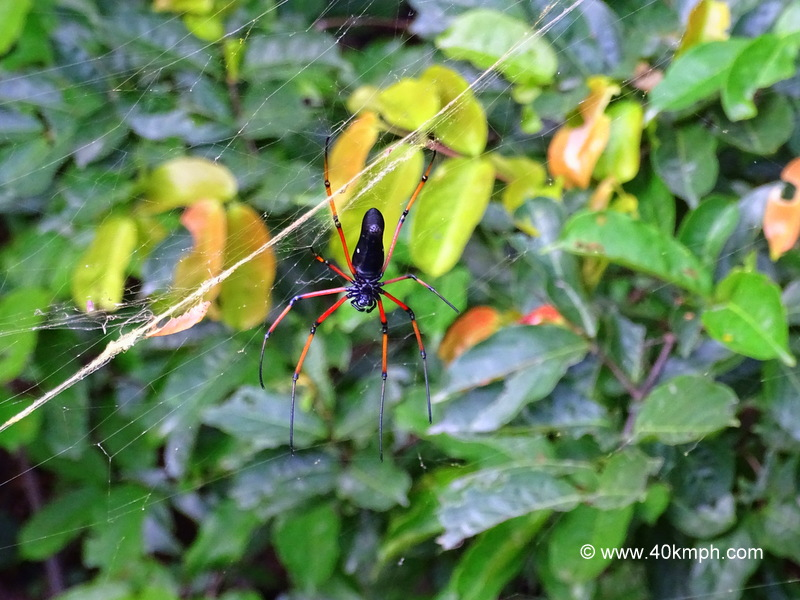 Red and Black Wood Spider
