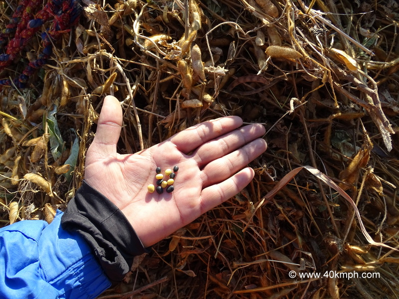 Different Types of Soybeans