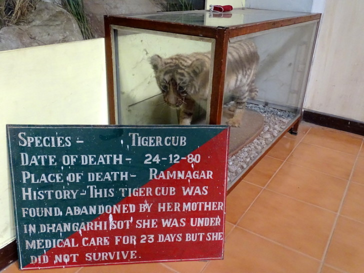 This Tiger Cub was Found Abandoned by Her Mother